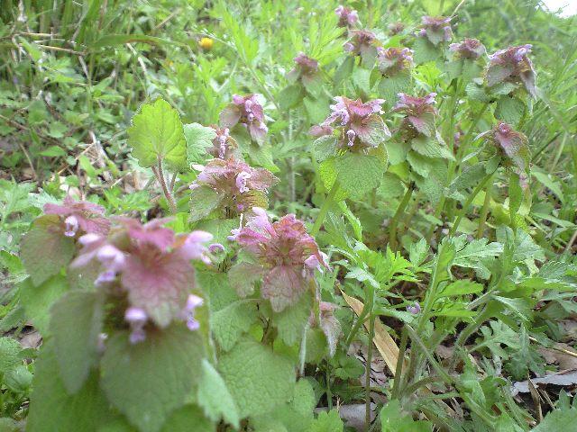 ヒメオドリコ草