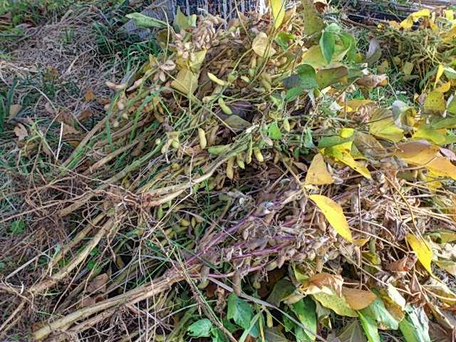 11月10日大豆収穫