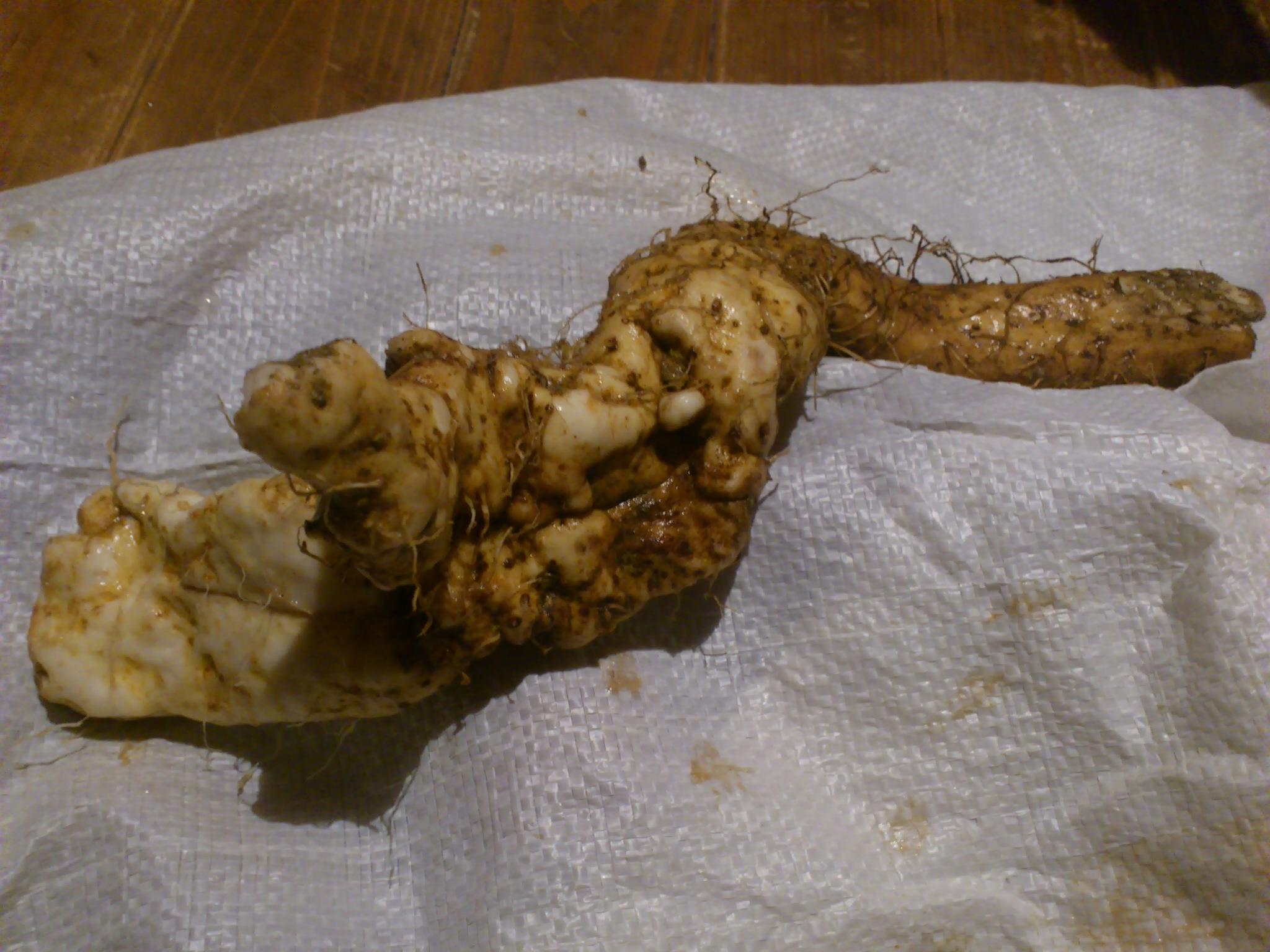 宮崎で頂いた掘ったばかりの野生自然薯。障害物の多い土で曲がって育ったものほど強いそう。龍のよう。